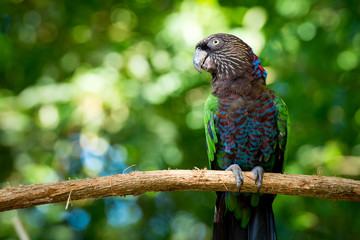 Red-fan (Hawk-headed) parrot on the Branch With Forest Background