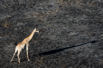 An aerial view of a giraffe (Giraffe camelopardalis) walking in the Okavango Delta after a bushfire, Botswana, Africa
