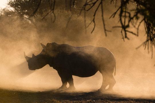 Silhouette of White rhinoceros in mist, Kalahari, Botswana