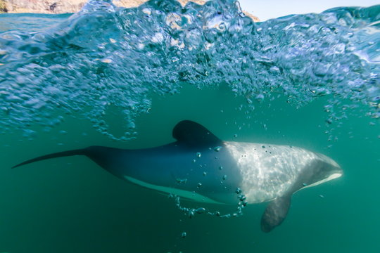 Adult Hector's dolphins (Cephalorhynchus hectori) underwater near Akaroa, South Island, New Zealand, Pacific
