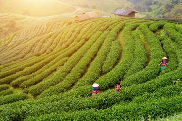 Foto auf Acrylglas Pistazie Thailand Chiang Mai Doi Ang Khang, Hmong people are harvesting tea leaves in green tea plantation at morning time.