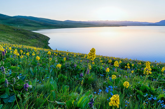 Wild flowers, Song Kol Lake, Naryn province, Kyrgyzstan, Central Asia