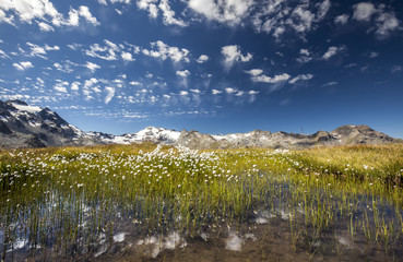 Eriophorus (cotton grass) blooming in the water of a lake in Upper Engadine, surrounded by the Swiss Alps, Graubunden, Switzerland, Europe