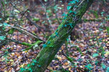 Moss on English tree trunk