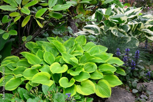 Hosta With Green And Yellow Leaves In The Garden Stock Photo And