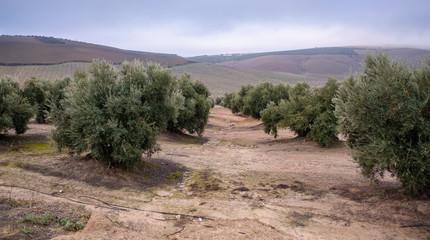 Olives tree landscape in Spain