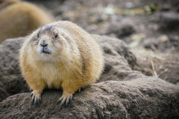 Picture of young gopher in the zoo sitting on the stone