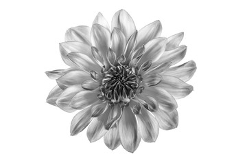 Black and white flower in isolation on a white background. For designers.