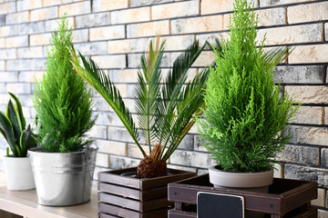 Pots with cypress trees and areca palm on table in room Wall mural