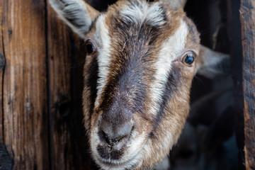 goat portrait close up