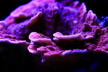 Montipora Candy Cap Coral, - (Montipora capricornis)