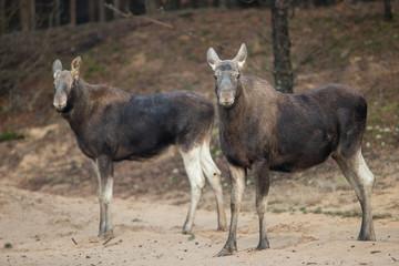 Mammal - bull moose (Alces)