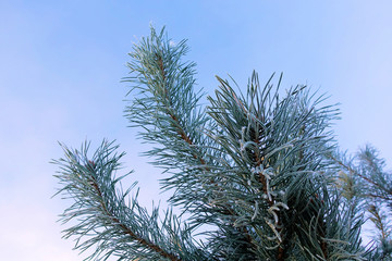 Pine branches with needles covered with hoarfrost on frosty day. Winter background. Against the sky