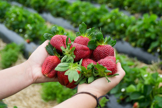 Seasonal fruit / harvest concept. Hands holding a big red juicy strawberries in the strawberry field of organic berry farm. Strawberry plants on background. Summer fruit. Bay of Plenty, New Zealand