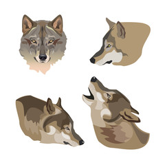 Heads of gray wolves