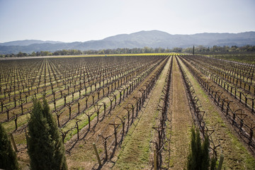 Rows of grapevines in a vineyard in the country.