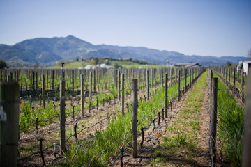 Rows of grapevines in a remote vineyard outdoors in the sunshine.