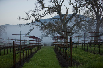 Rows of grapevines in between scraggy trees in a remote vineyard outdoors on a foggy day.