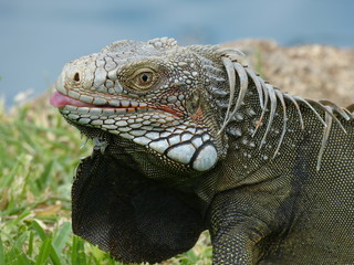 Iguana head close up