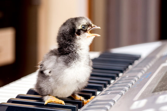 Small chicken with an open beak on the piano keys. Performing a song. The first steps in music_