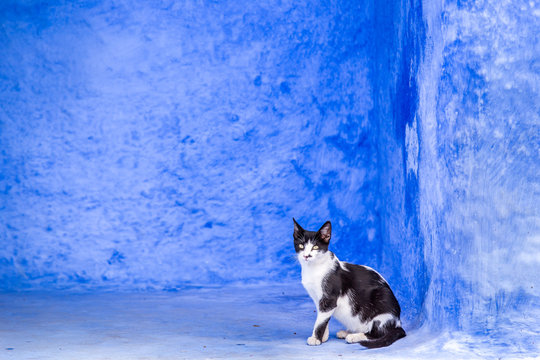 Moroccan cat at street of chefchaouen blue city, Morocco