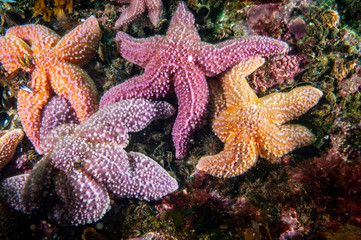 Common starfish underwater in the Gulf of St. Lawrence. Wall mural