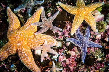 Common starfish underwater in the Gulf of St. Lawrence.