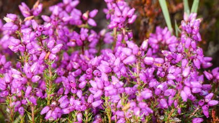 Scottish bell heather