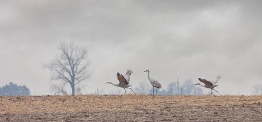 Two Cranes Prepare for Flight