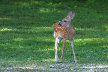 An Alert Fawn Stands on the Green