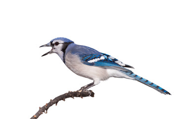 Bluejay with its Beak Open