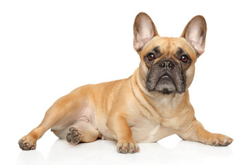 Poster Franse bulldog French bulldog lies and stares
