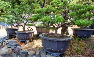 Bonsai Trees in Taiwan.