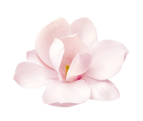 Photo sur Aluminium Magnolia tender pink magnolia flower isolated