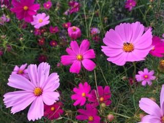 Honey bee Cosmos flowers blooming in the garden