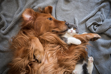 The Golden Hound and the kitten are playing.