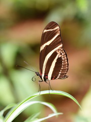 Zebra Longwing Butterfly Heliconius charithonia sitting on a leaf