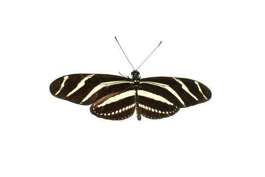 Zebra Longwing Butterfly Heliconius charithonia isolated on white background