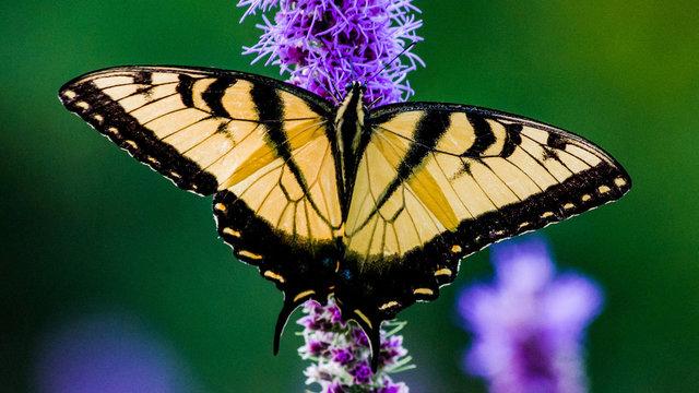 Western Tiger Swallowtail Widescreen