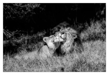 Lion and Lioness in Harmony