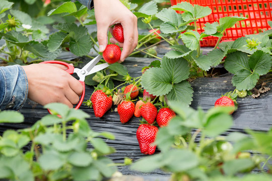 farmer hands picking strawberry at field