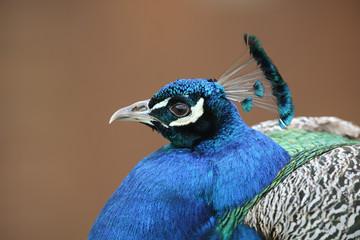 A headshot of a beautiful male Peacock (Pavo cristatus).