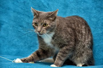 gray with white adult angry cat on a blue background