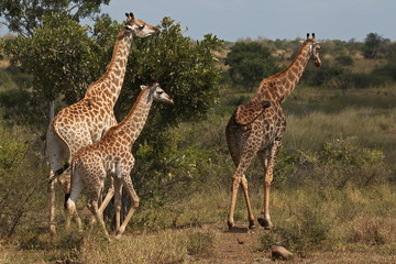 Giraffes in Kruger National park in South African Republic in Africa