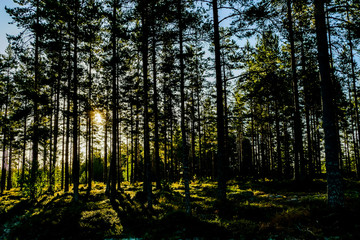 morning in the forest, in Sweden Scandinavia North Europe