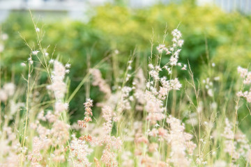 white natural grass flower in garden. background for nature and freshness