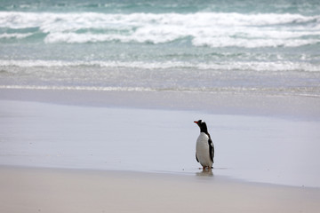 A Gentoo penguin stands on the beach in The Neck on Saunders Island, Falkland Islands