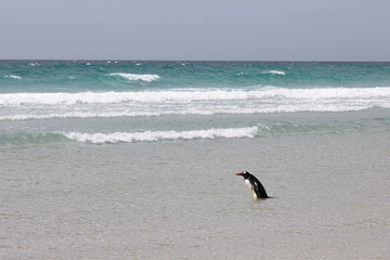 A penguin is standing in the shallow surf on the beach in The Neck on Saunders Island, Falkland Islands