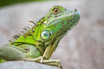side portrait of green iguana