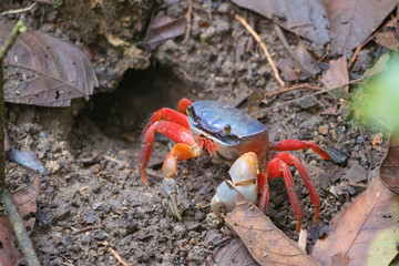 blue orange crab in front of his hole